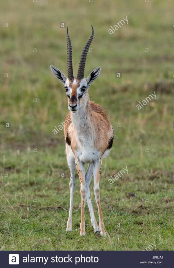 Thomson's Gazelle Stock Photos & Thomson's Gazelle Stock Images - Alamy