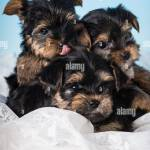 Yorkie Puppies High Resolution Stock Photography And Images Alamy