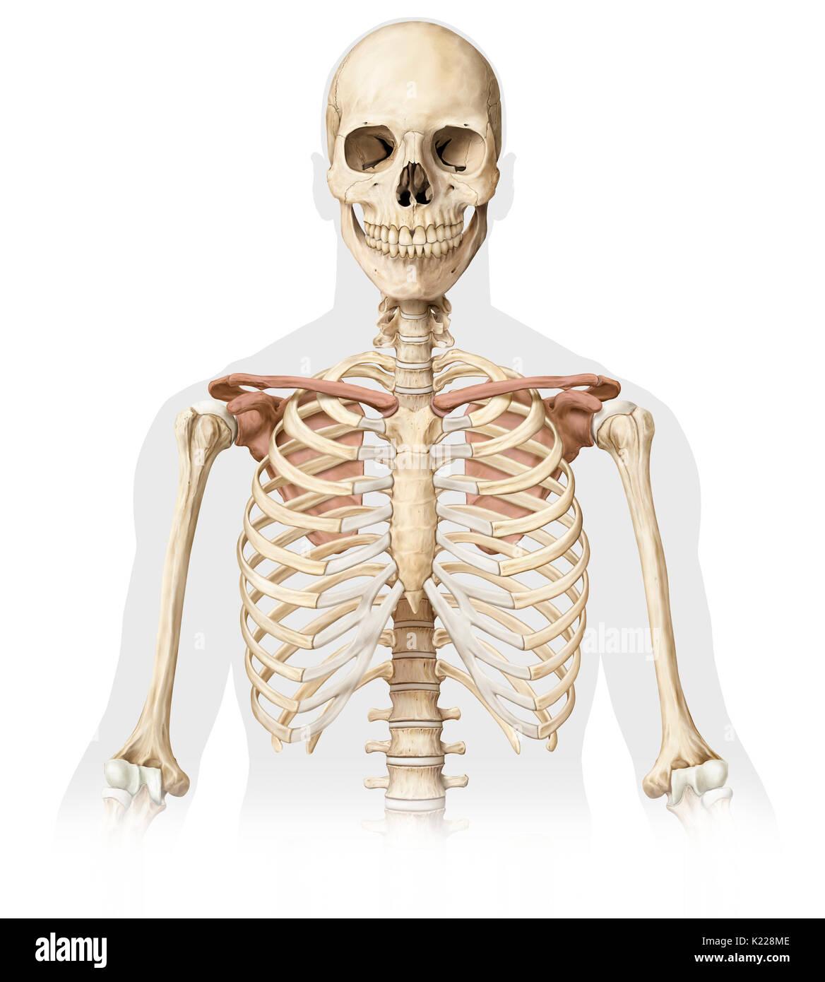 Diagram Of Bones