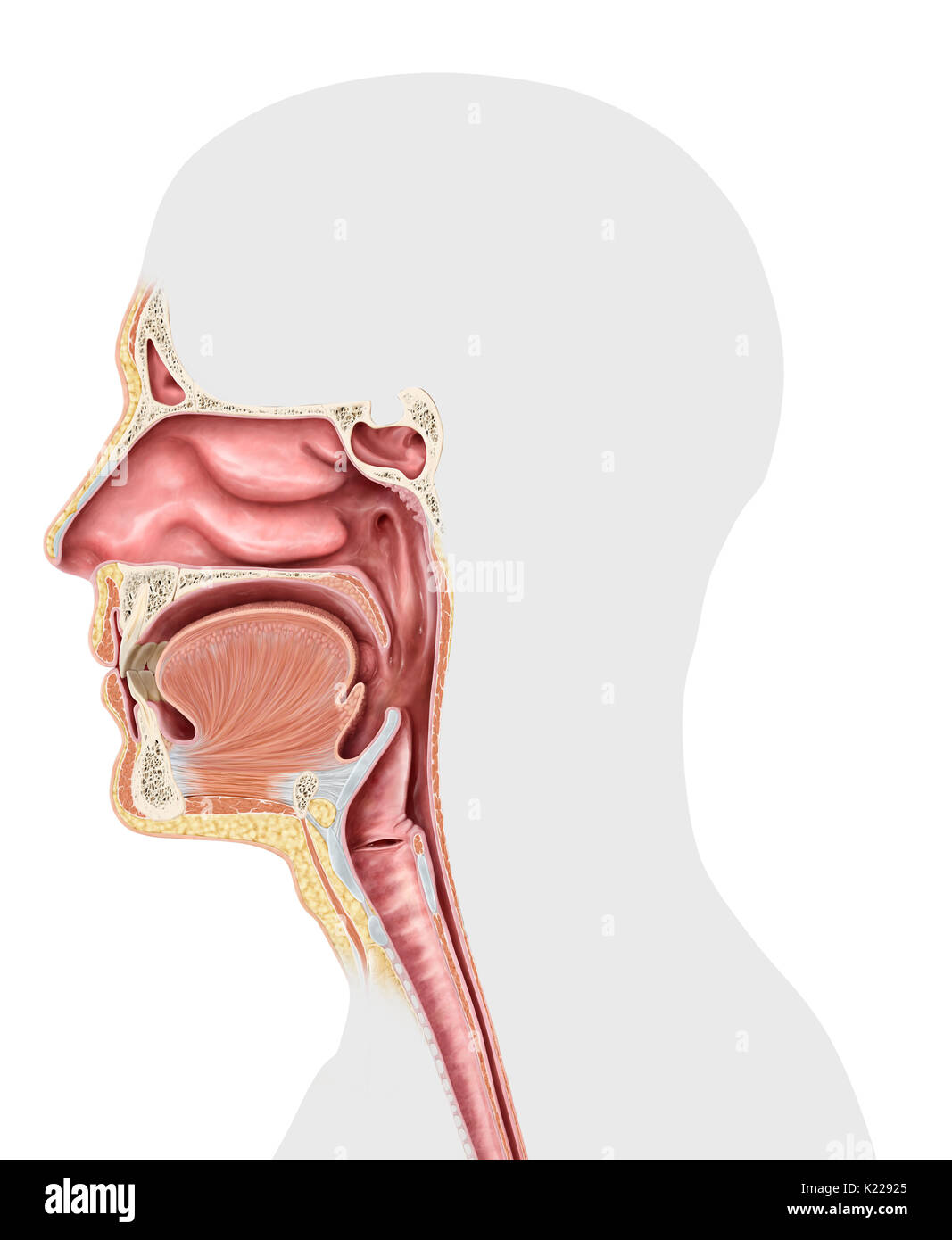 Blank Upper Respiratory System Diagram