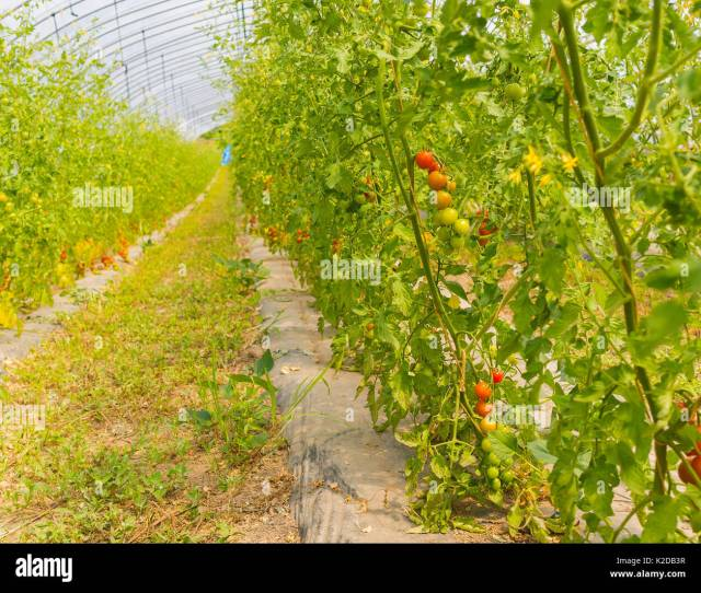 Tomato Platation Farm In Niseko Hokkaido Japan Summer