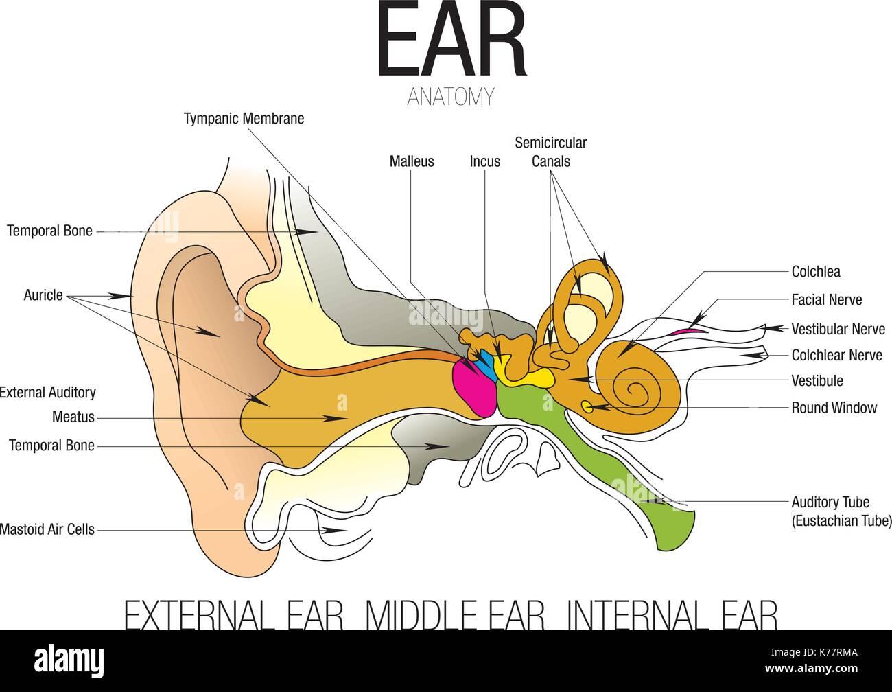 Ear Diagram Stock Photos Amp Ear Diagram Stock Images