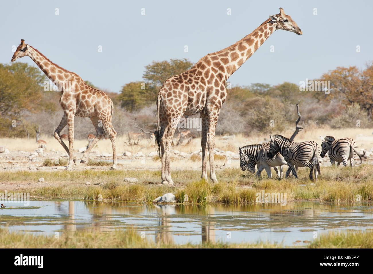 Water Hole Zebra And Giraffe Stock Photos Amp Water Hole