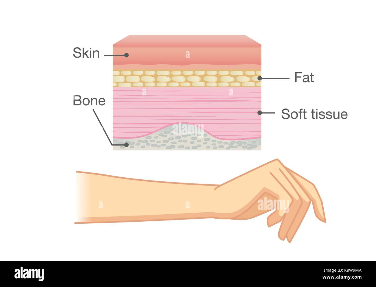 Anatomy Of Human Skin Layer And Arm Stock Vector Art