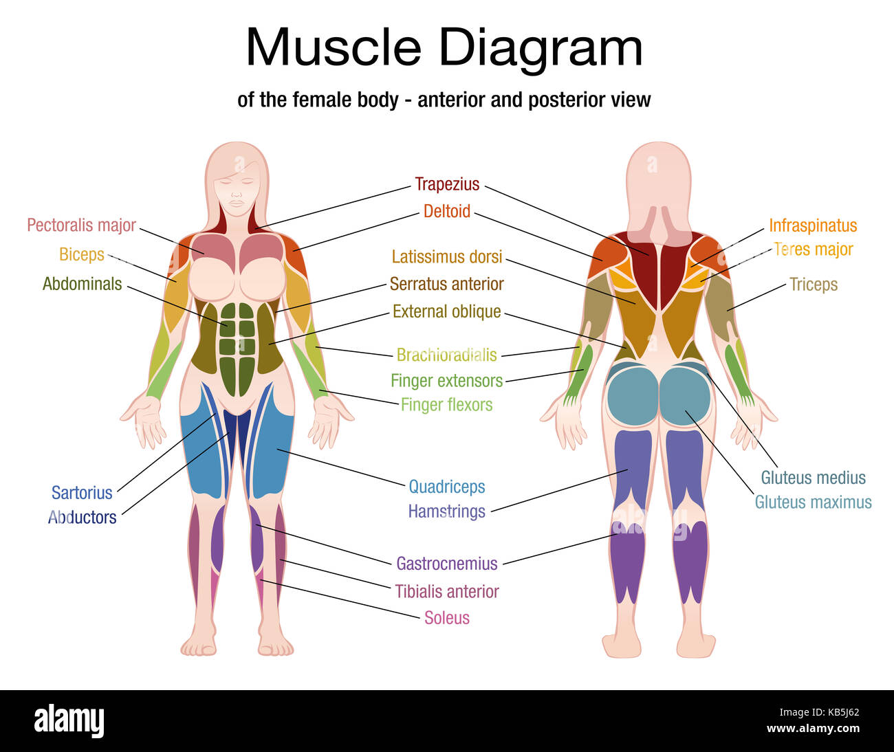 Human Body Muscles Diagram Stock Photos Amp Human Body