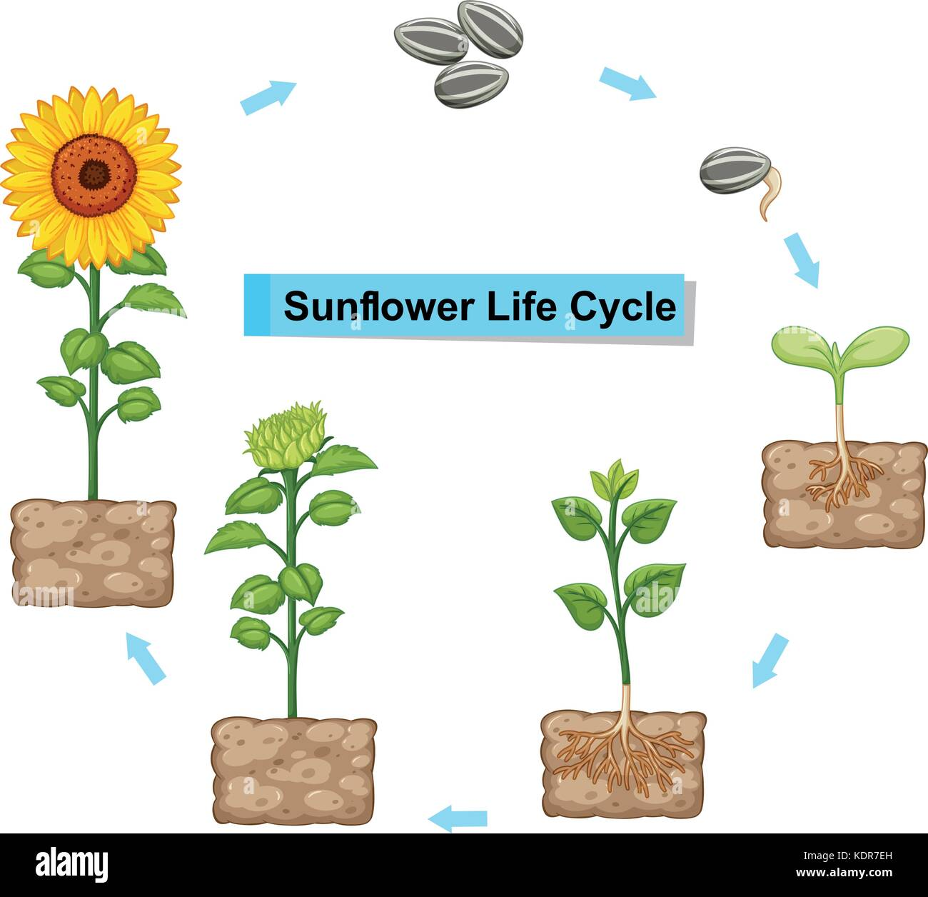 Diagram Of A Sunflower