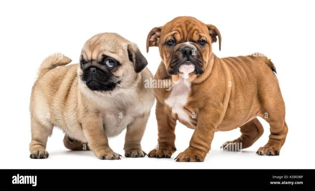 pug and english bulldog puppies sideside, isolated on white
