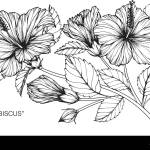 Hibiscus Flower Drawing Illustration Black And White With Line Art Stock Vector Image Art Alamy