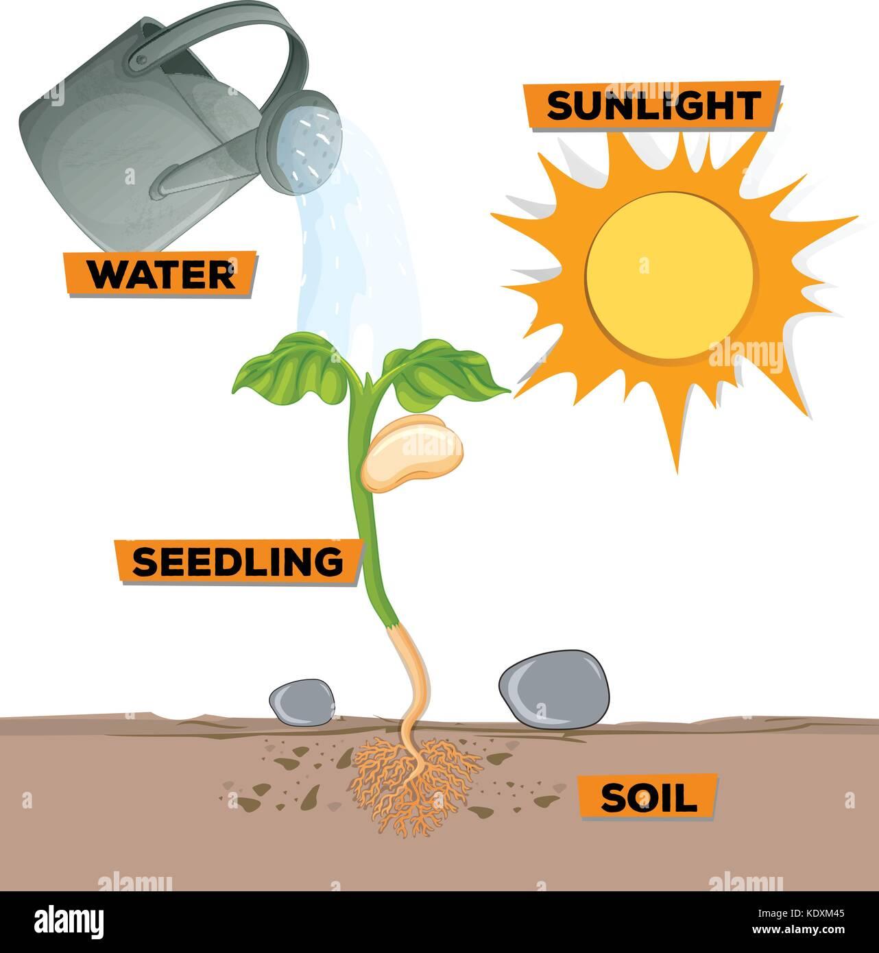 Diagram Fern Growth