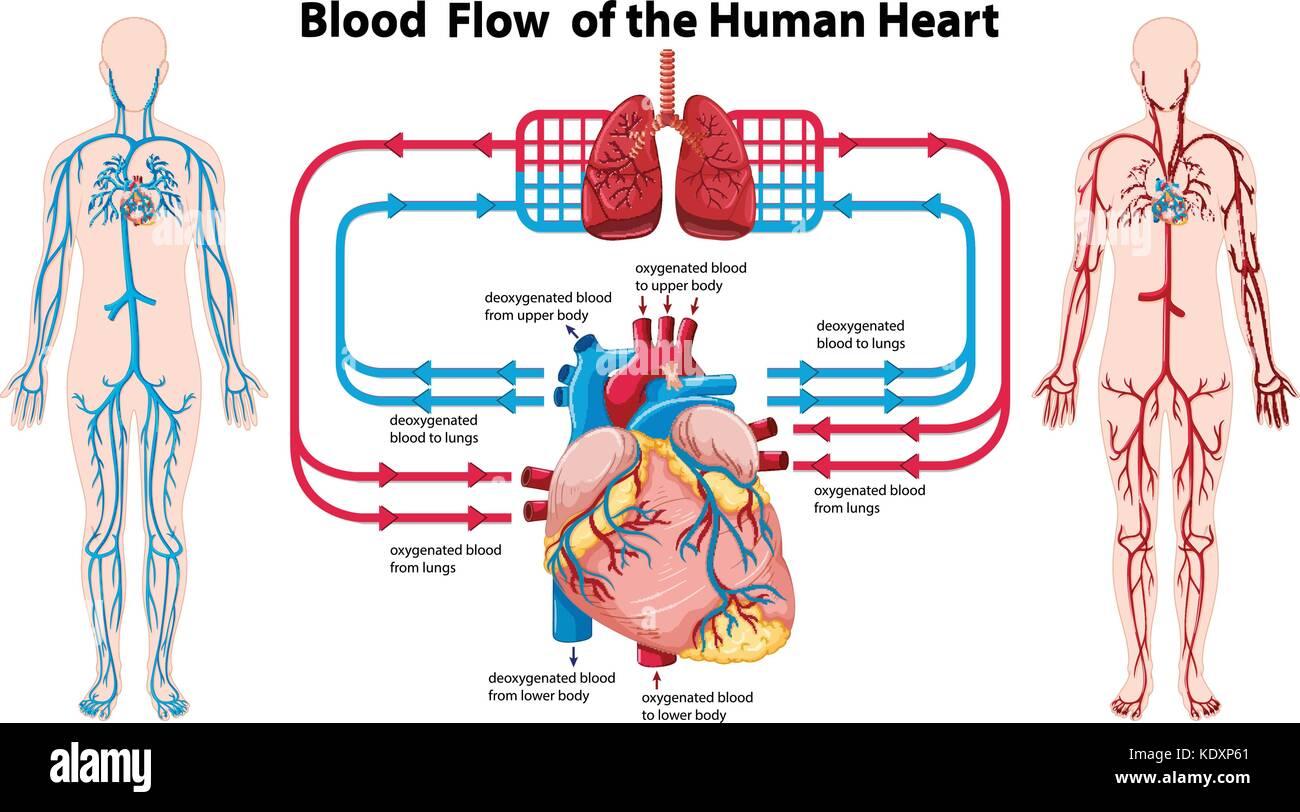Diagram Showing Blood Flow Of The Human Heart Illustration Stock Vector Art Amp Illustration