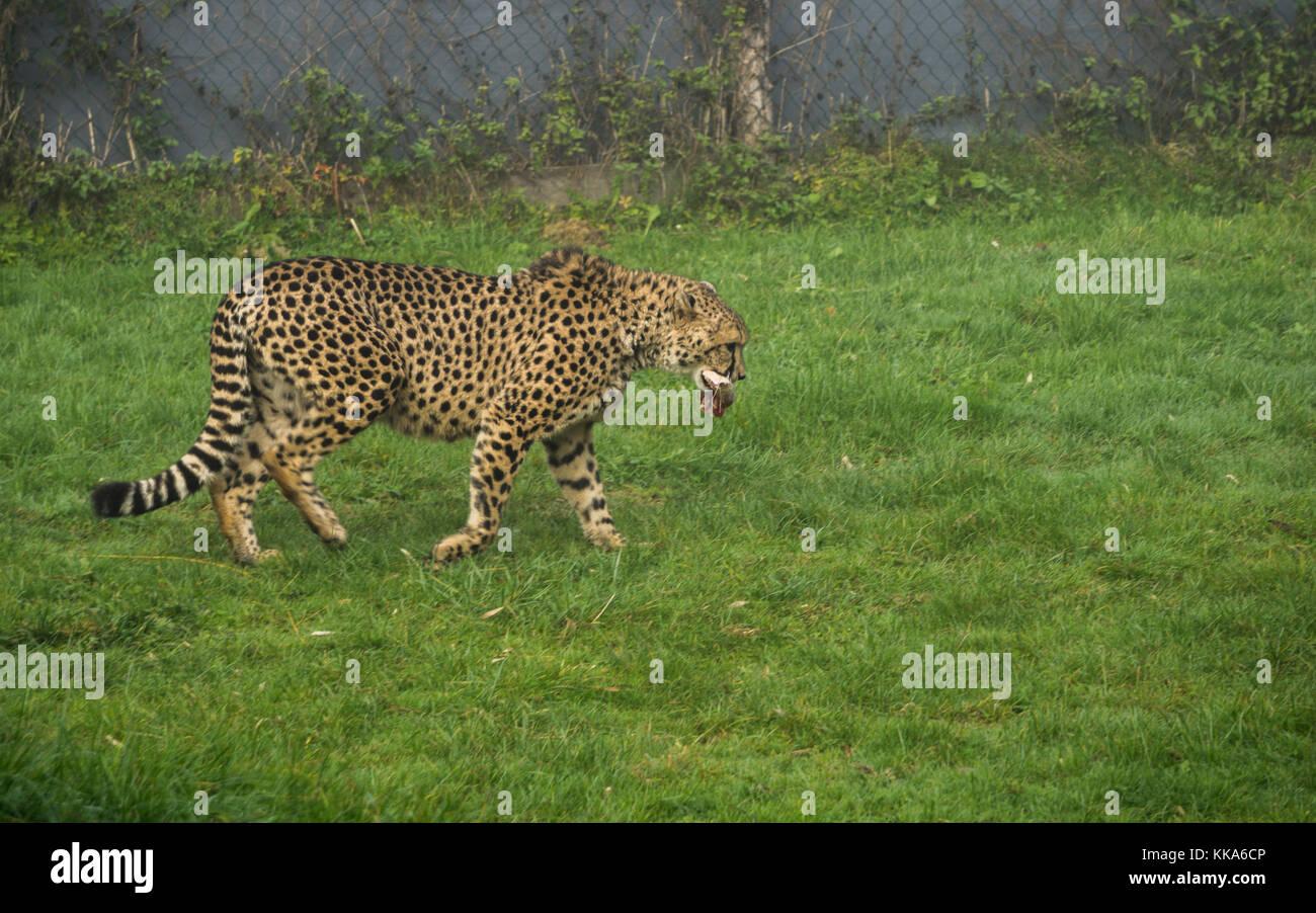 Cheetah Walking Inside Its Zoo Enclosure With A Big Piece