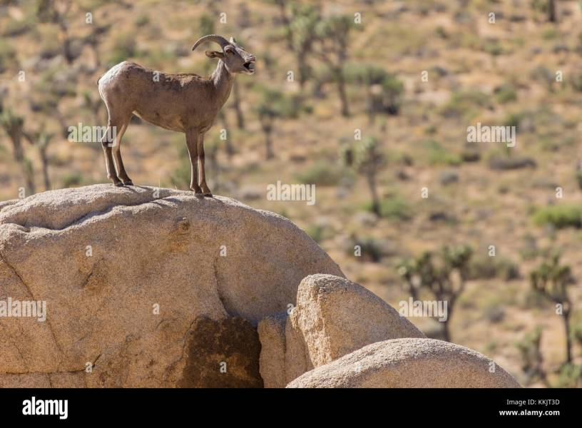 bighorn sheep joshua tree » Full HD MAPS Locations - Another World ...