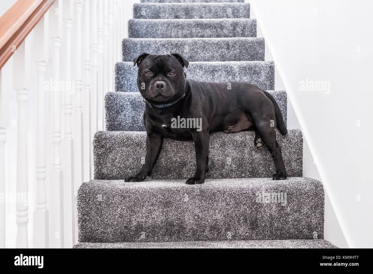 Black Staffordshire Bull Terrier Dog Sitting On A Staircase With   White Stairs With Grey Carpet   Top   Laminate Flooring Carpet   White Staircase   Grey Stripe   Dark Grey