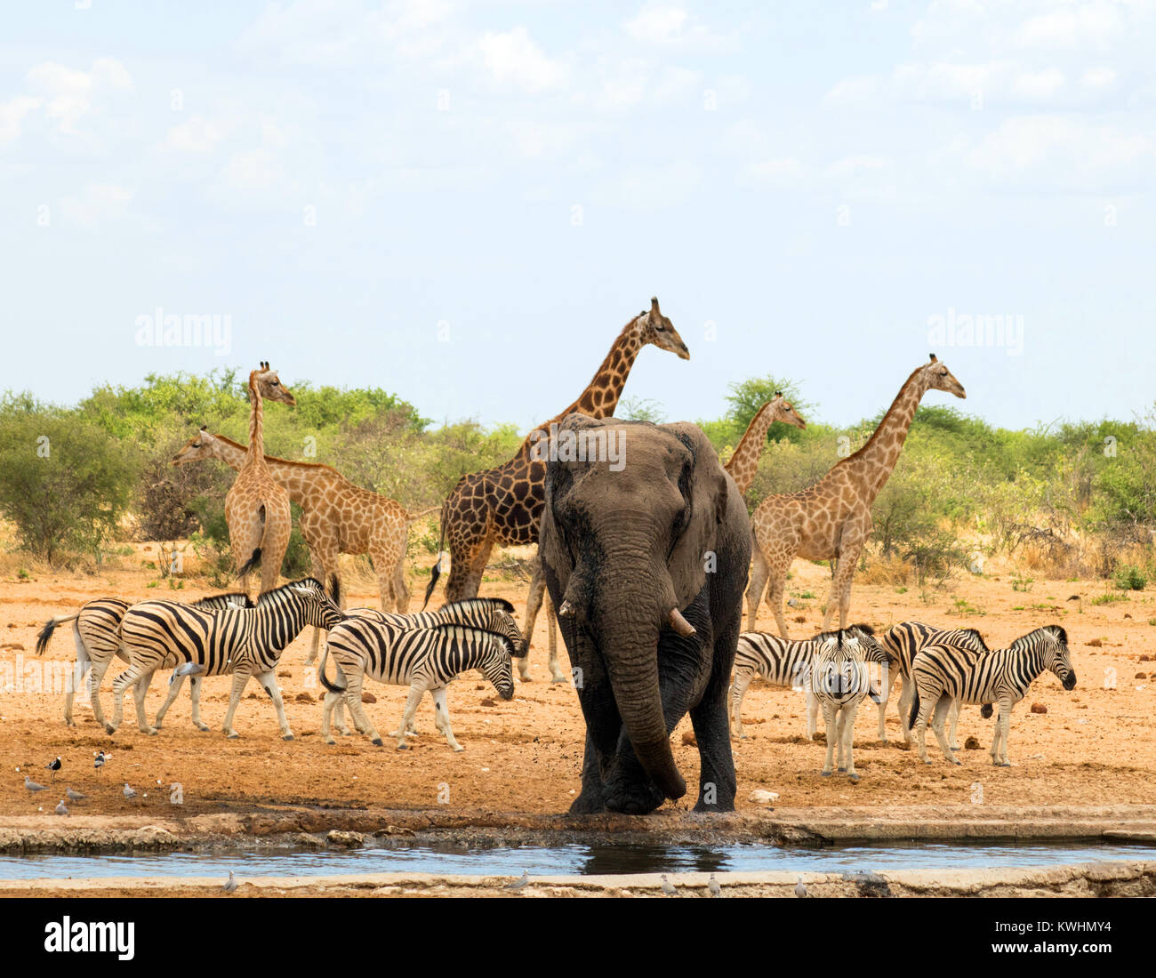 Waterhole Animals Zebra Giraffe Stock Photos Amp Waterhole