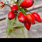 Canker Rose Stock Photo Alamy