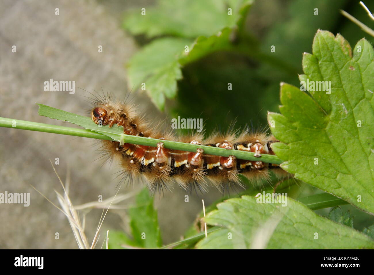 Painted Lady Caterpillar Stock Photos Amp Painted Lady