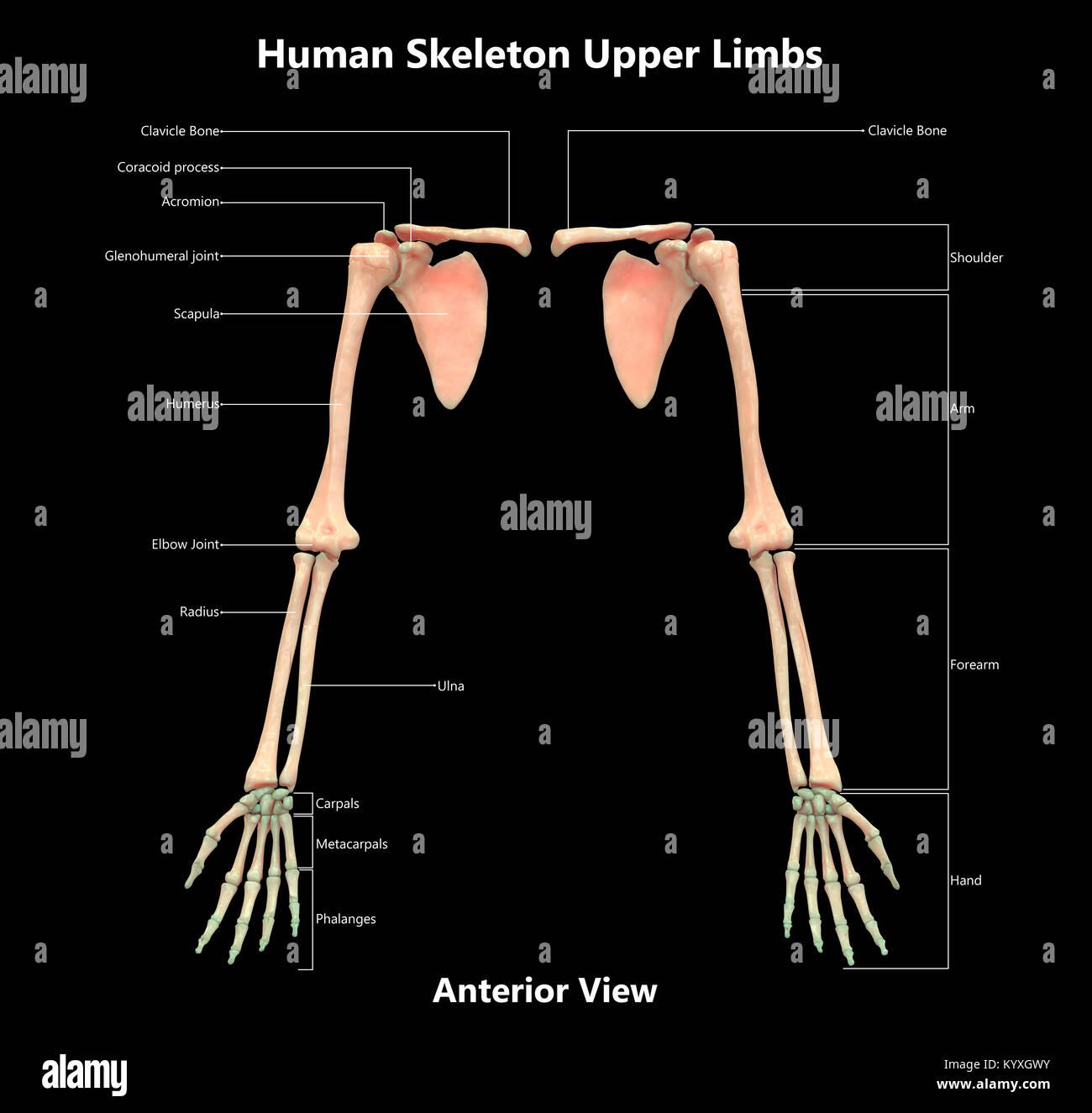 Human Skeleton System Upper Limbs Label Design Anterior
