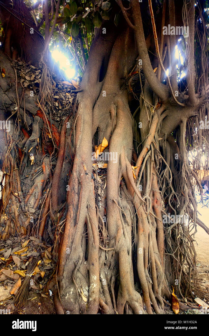 Large ficus  Sacred Banyan tree in India  animism Stock Photo     Sacred Banyan tree in India  animism