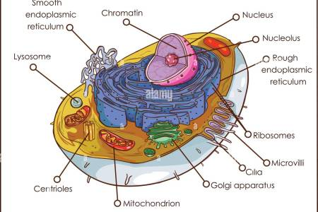 Diagram of animal cell path decorations pictures full path to make an animal cell model is here simple plant cell drawing at getdrawings com free for personal use x simple plant cell drawing labelled diagrams ccuart Gallery