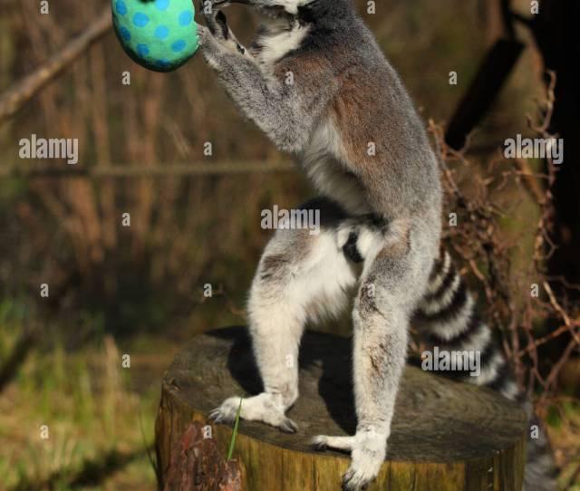 Ring Tailed Lemurs Enjoying Vegetable Easter Treats At Zsl London Zoo In London