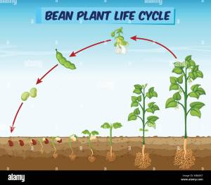 Bean Plant Roots Stock Photos & Bean Plant Roots Stock