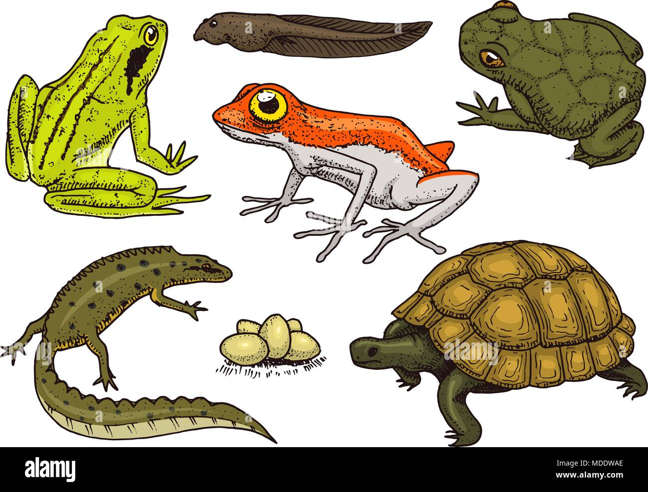 Crocodile Newt Stock Photos Amp Crocodile Newt Stock Images