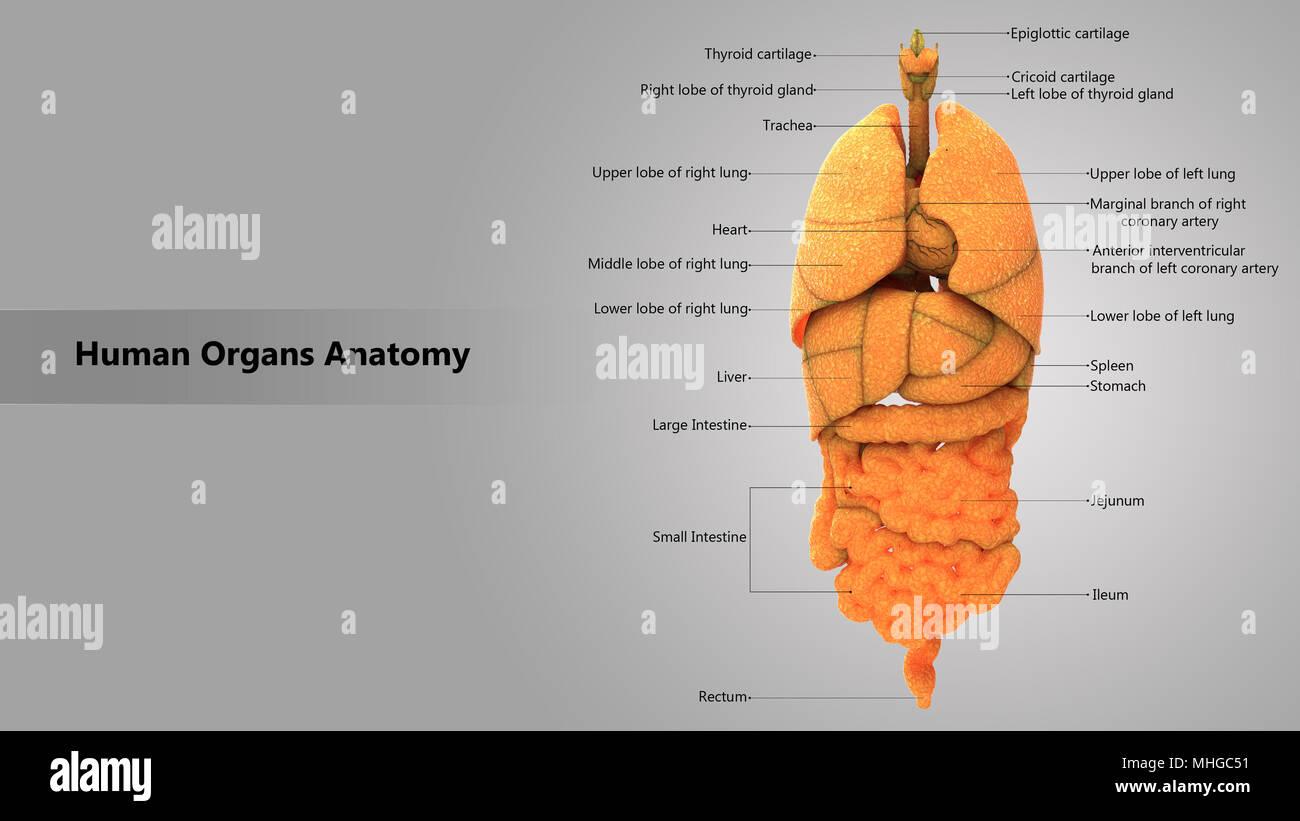 Human Body Internal Organs With Label Design Anatomy