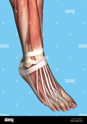 Human Foot Anatomy Stock Photos & Human Foot Anatomy Stock Images  Alamy