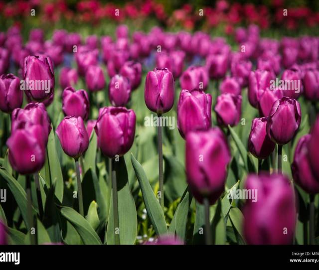 Beautiful Colorful Purple Tulips Flowers Bloom In Spring Garden Decorative Wallpaper With Violet Tulip Flower Blossom In Springtime Beauty Of Nature P