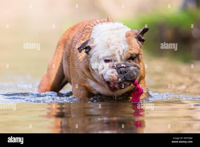 picture of an english bulldog who plays with a toy in a lake stock