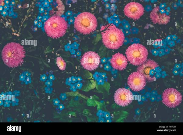 Myosotis And Daisy Stock Photos & Myosotis And Daisy Stock ...
