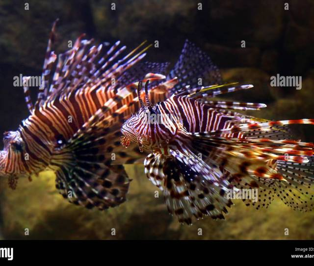 Las Vegas Nevada Usa Nd Dec  A Lion Fish Swims