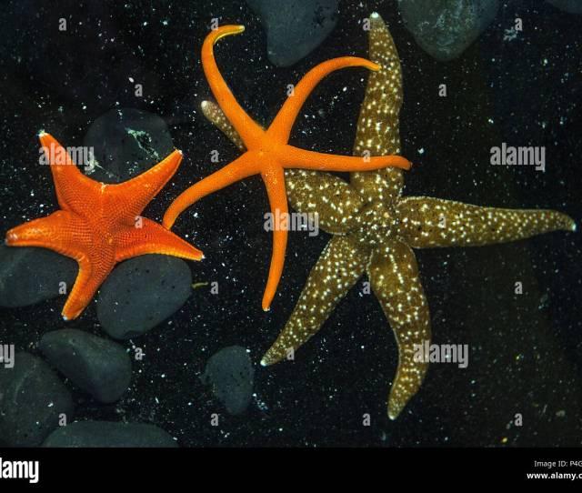 Las Vegas Nevada Usa Nd Dec  A Variety Of Starfish