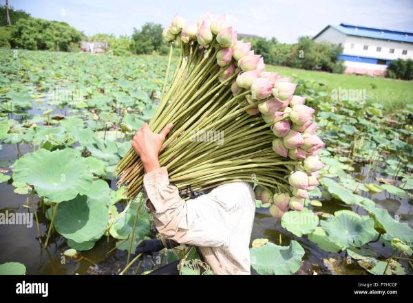 Thailand. 06th July, 2018. Farmers are collecting lotus ...