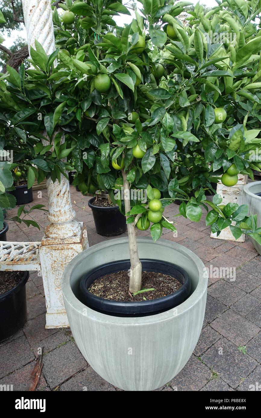 https www alamy com citrus tree growing in a pot image211694362 html