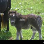 Adorable Fluffy Mini Horse Baby Standing Beside His Mother Stock Photo Alamy