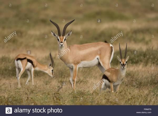 Male Thomsons Gazelle Stock Photos & Male Thomsons Gazelle Stock Images - Alamy