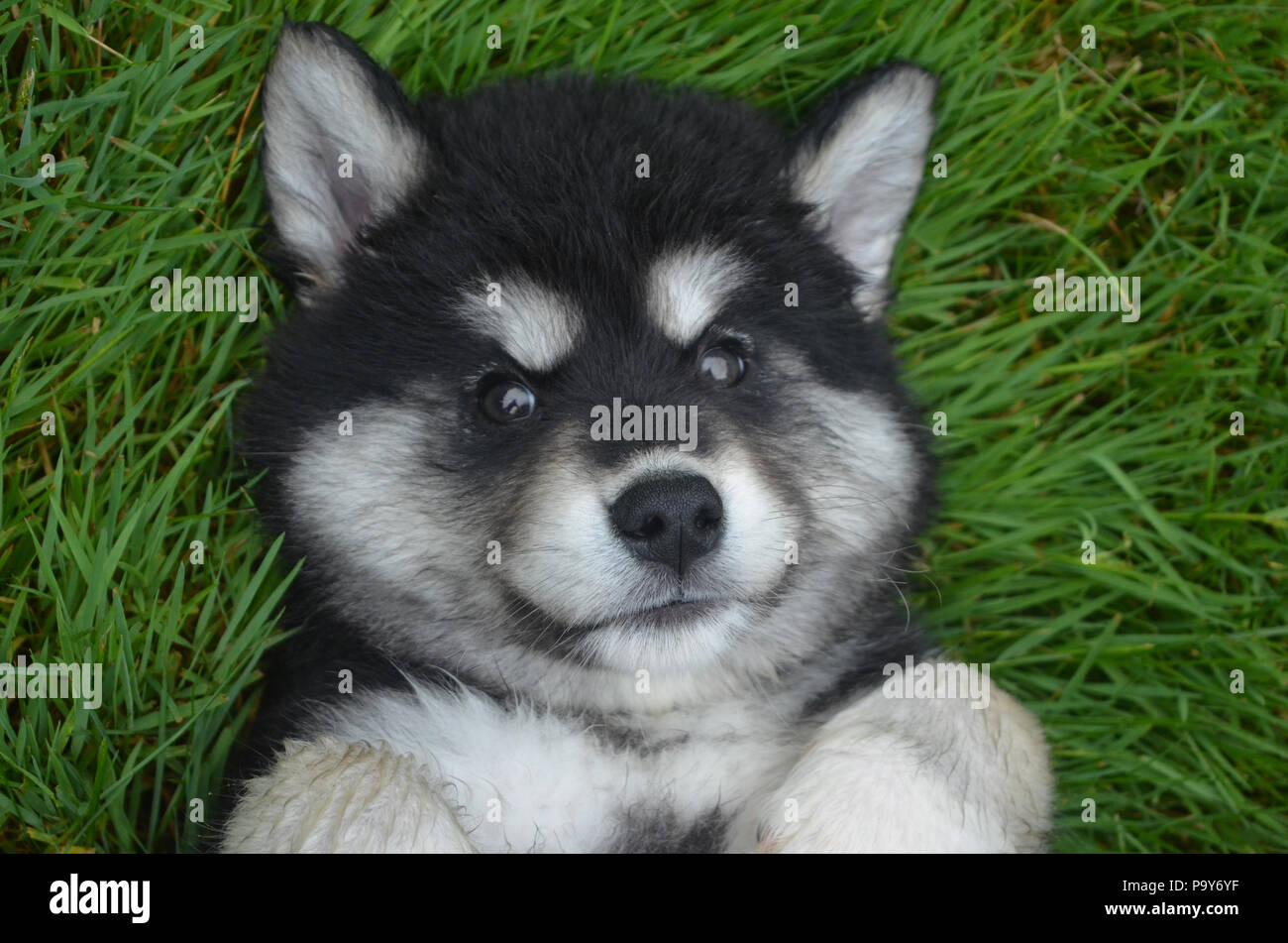Really Cute Puppy High Resolution Stock Photography And Images Alamy