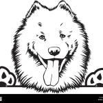 Samoyed Dog Breed Pet Puppy Isolated Head Face Stock Vector Image Art Alamy