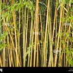Bamboo Arashiyama Kyoto Japan Bamboo Grove In The Forest Background Stock Photo Alamy