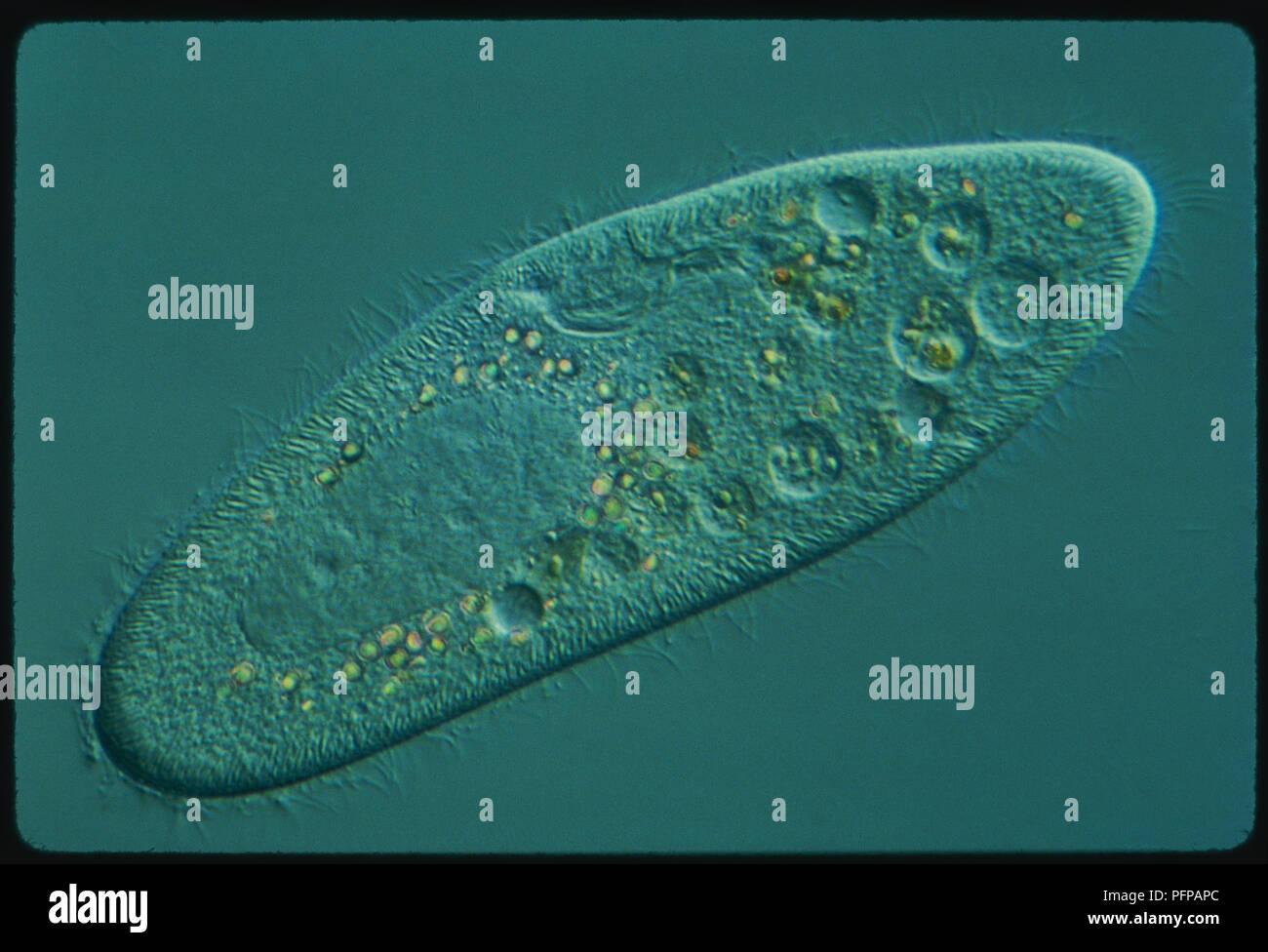 Single Celled Organism Cyclops