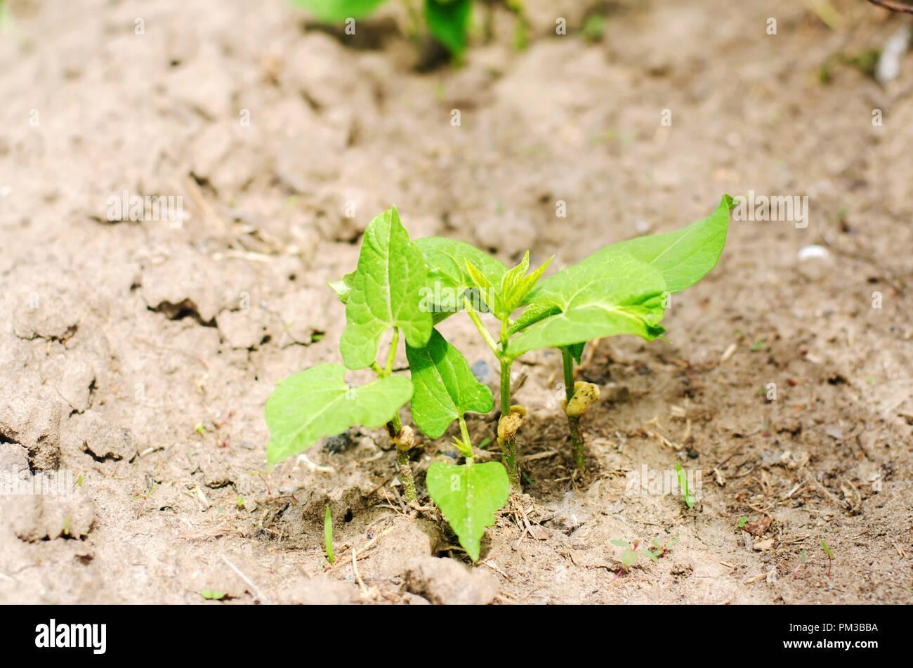 Bean Seeds Germination Stock Photos Amp Bean Seeds