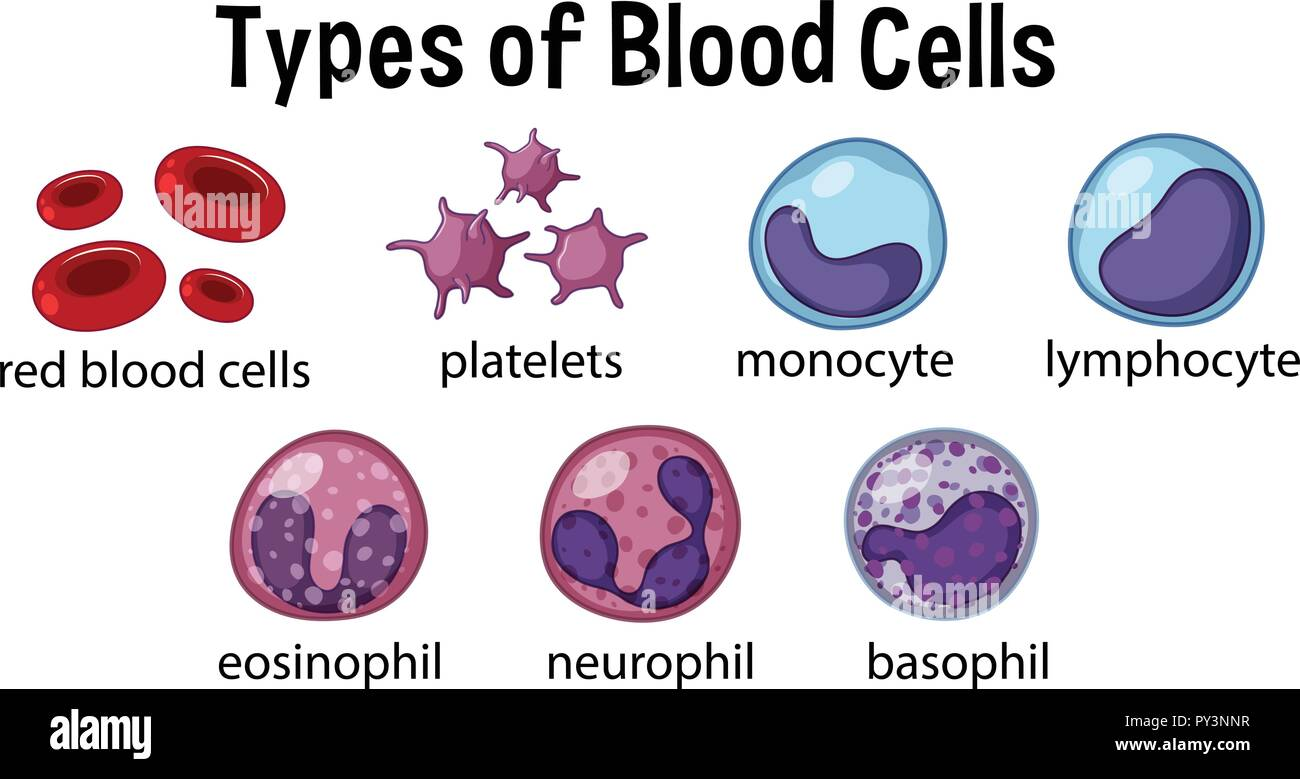 Types Of Blood Cells Illustration Stock Vector Image Amp Art