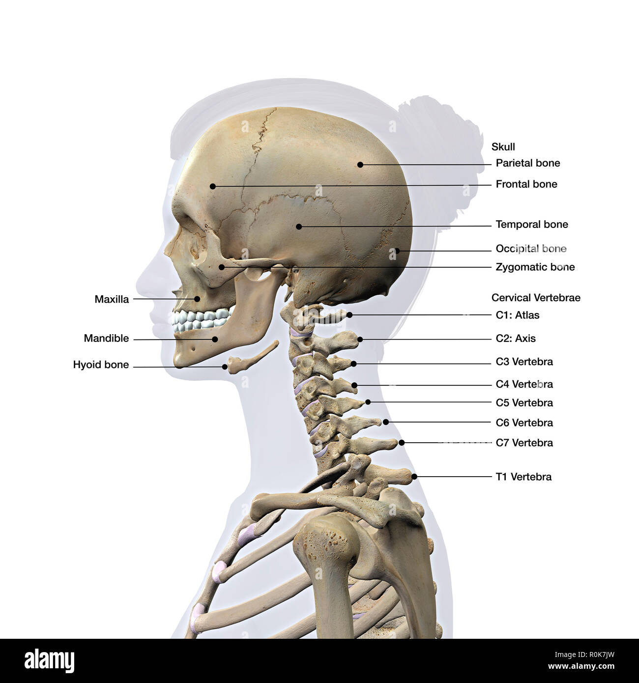 Lateral View Of A Woman S Skull And Cervical Spine