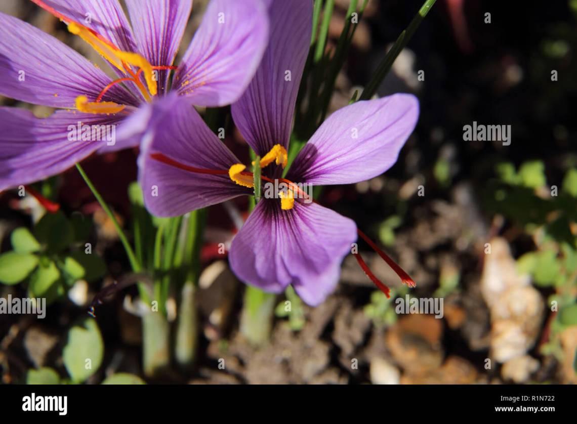 Crocus Sativus Autumn Crocus Saffron Stock Photos & Crocus ...