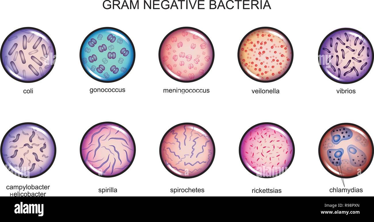 Vector Illustration Of Gram Negative Bacteria