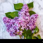 Bouquet Of Flowers Beautiful Smell Violet Purple Lilac On Gray Marble Background Garden In Spring Or Summer Concept Close Up Blossom Twigs Of Lilac Stock Photo Alamy