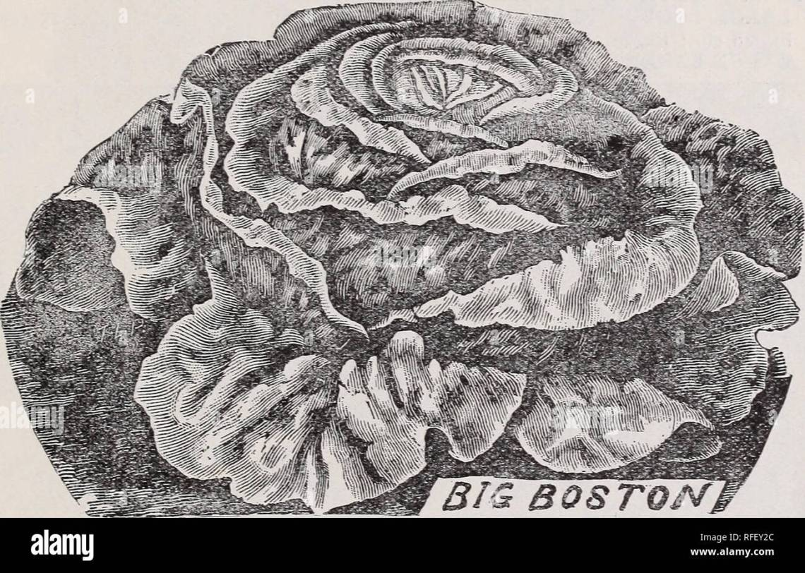 Field Vegetables And Flower Seeds Catalog 1902 Nursery Stock Virginia Richmond Catalogs Vegetables Seeds Catalogs Cereal Grasses Catalogs Gardening Equipment And Supplies Catalogs Catalogue Of High Class Seeds 2 Lettuce One
