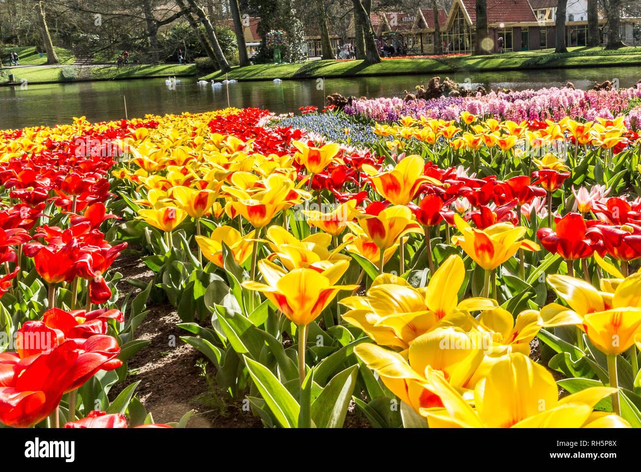 Reflection Tulips In Spring Garden Stock Photos