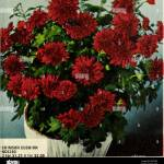 Annual Mum Carnival Nurseries Horticulture Catalogs Flowers Catalogs Cushion Mums Single Mums The Very Popular Low Growing Early Maturing Types That The Cute Daisy Types Will Fill Your House And Garden